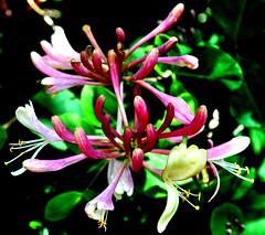 Honeysuckle (littlestschnauzer) Tags: flowers garden spring may honeysuckle