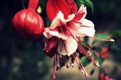 . (Beth Nieves ,) Tags: pink naturaleza flower macro nature beautiful beauty rose rojo bottom flor rosa bomba leafs hermosa detalles especial cherryflower ptalos tonalidades pickone ptalosrojos