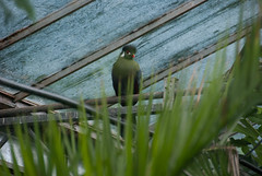 White cheeked Turaco (a Titifer) (Snoop Baggie Bag) Tags: holiday bird june kent kingsdown 2011