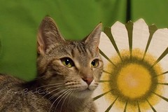 Lois & The Big Daisy.. (KrazyBoutCats) Tags: cats pets animals kittens felines
