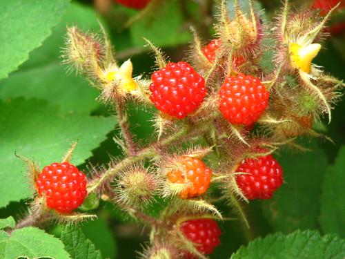 red red raspberries