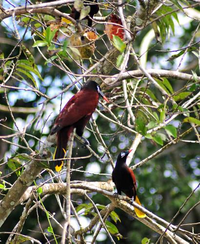 Montezuma Oropendulas