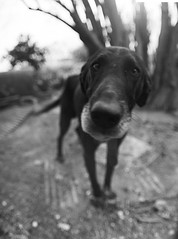 yo doggy (menanderman) Tags: red portrait bw dog black 6x6 film monochrome closeup dof bokeh fisheye filter medium format agfa apx 100asa pentaconsix croped 30mm homedeveloped shalow ilfosols thelittledoglaughed