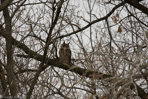 Great Horned Owl-2