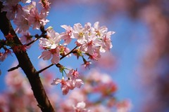 (fjny) Tags: flower film nikon kodak taiwan sakura cherryblossoms f80 e100vs     danshuei  teinyuantemple