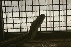 Burmese Python (ddsnet) Tags: animals zoo sony hsinchu taiwan  700   zoo    hsinchuzoo 700 hsinchu