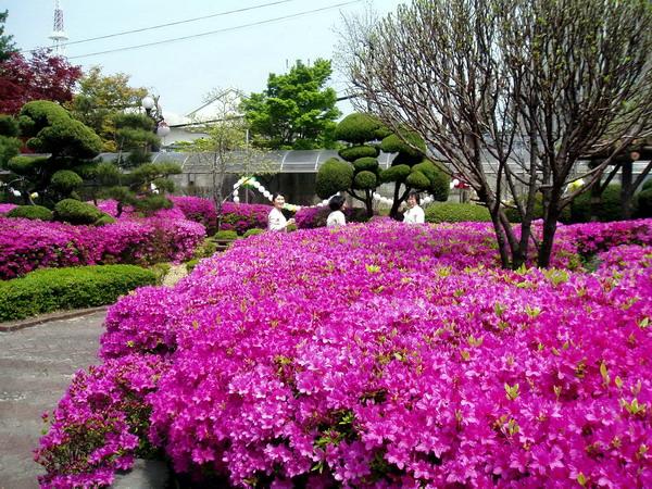 Rhododendron (Yeongsanhong)-1