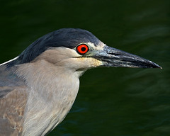 Black-crowned Night-Heron close up (Dean of Photography) Tags: bird blackcrownednightheron photofaceoffwinner goldwildlife pfogold