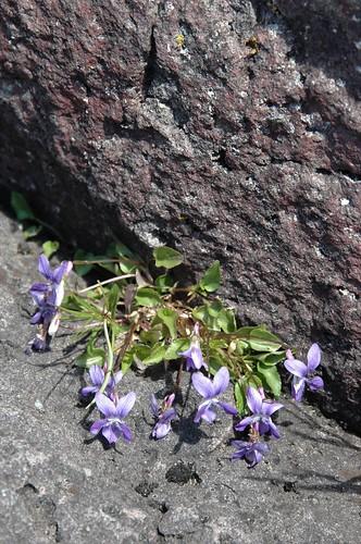 Sand violets