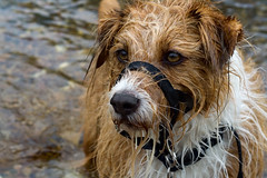 Soggy Doggy (Daniel Hodson) Tags: uk portrait orange dog pet brown dan wet swim canon river hair 50mm eyes unitedkingdom d daniel aib derbyshire peter 350 canon350d canoneos350d mongrel freelance hatton scruff kacey hodson visualcommunication hoddo artsinstitutebournemouth danielpeterhodson danielhodson theartsinstitutebournemouth dhodson wwwdanielhodsoncouk httpwwwdanielhodsoncouk
