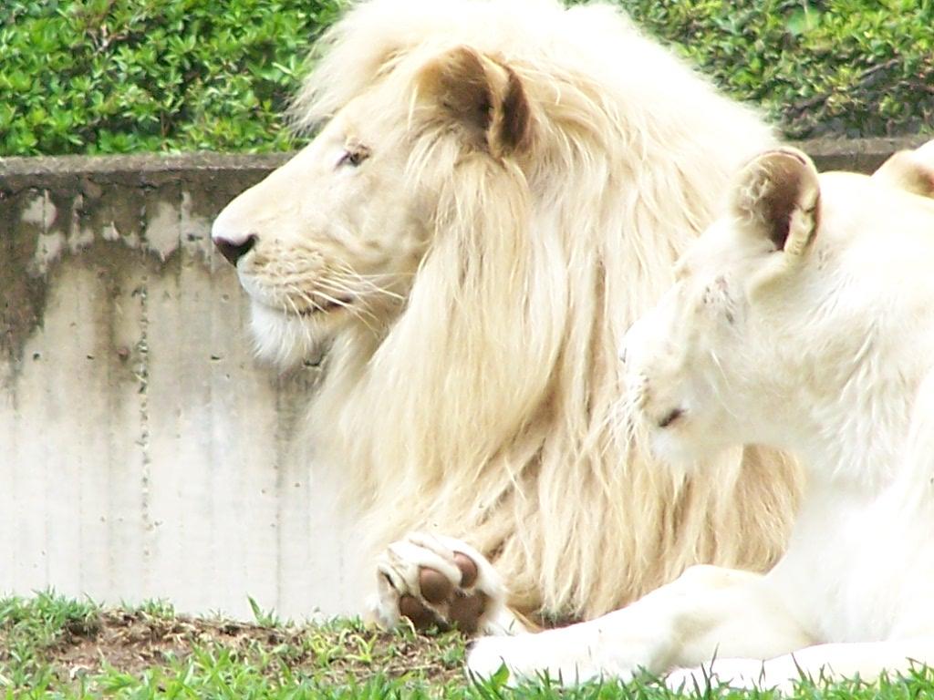 fotos leones blancos: