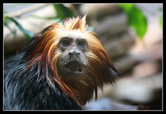 Golden-headed Lion Tamarin (DP|Photography) Tags: fauna zoo monkey chimp monkeys apes simian marmoset tamarin goldenliontamarin goldenlion blueribbonwinner goldenmarmoset specanimal animalkingdomelite flickrgold anawesomeshot aplusphoto liontamarin theunforgettablepictures theperfectphotographer goldwildlife simplysuperb roseawards debashispradhan dpphotography goldheadedliontamarin goldtamarin dp|photography
