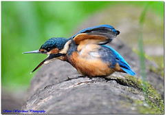 MALE KINGFISHER (500 MM LENS HAND HELD) LOW LIGHT , CROPPED (spw6156) Tags: camera copyright fish fauna club digital photography flora flickr quality steve best e cropped della pixels waterhouse nel blueribbonwinner digitalcameraclub a regno swollowing platinumphoto anawesomeshot excapture malekingfisher500mmlenshandheldlowlight spw6156 stevewaterhouse copyrightstevewaterhouse