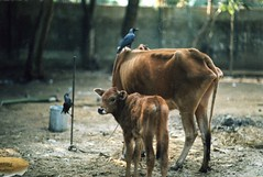 the bond of nature (N A Y E E M) Tags: cattle dusk crow bangladesh chittagong fujicolorpress800 leicar62 summiluxr80mm nayeemkalam