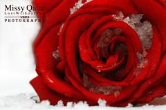 (Missy | Qatar) Tags: b red 3 cold flower ice rose la ana al w xp p hay bas makan ly 3la part2 loooooool a missvogue hawaalrayyanfav lol3lakaifchilshai5absanaillyaktbp lakaifib3danap kaifh kaifch