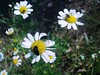 Bugs meeting /  Bogártalálkozó (Verspatikus) Tags: summer flower bug insect beetle petal inseto verão kamilla virág flôr camomile nyár rovar camomila bogár szirom
