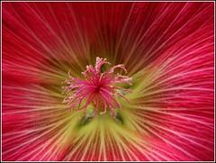 Stockrose (♥ ♥ ♥ flickrsprotte♥ ♥ ♥) Tags: flower macro ilovenature anne flickr rita meeting blume blüte supermacro kiel ele stockrose canons3is bixxy thomasinkiel