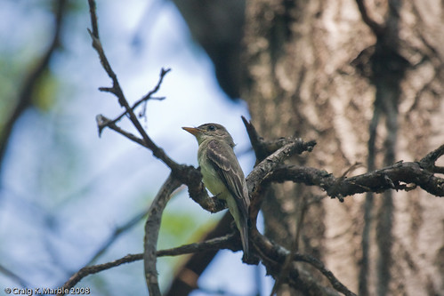 Eastern Wood Pewee (1 of 2)