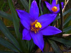 Flor (Canela de Ema) (Alexandre Chacal) Tags: canon flor cerrado s5si alexandrechacal altoparaiso