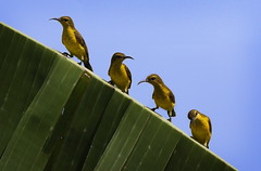 Four in a row... (Impian) Tags: bird yellow indonesia vogel sunbird batam burung olivebackedsunbird cinnyrisjugularis nectariniajugularis kepulauanriau yellowbelledsunbird