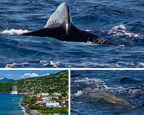 Island of Dominica, whales