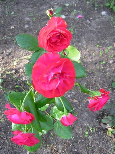 Ruusuja mullassa