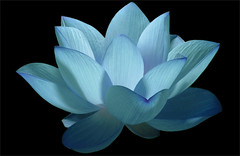 Flower / Blue flower / Lotus Flower / water / lily / water lily /  / Blue / nature / - IMG_0606 - Nelumbo Nucifera - , , ,  , Fleur de Lotus, Lotosblume, , , (Bahman Farzad) Tags: blue flower macro nature water yoga peace waterlily lily lotus relaxing peaceful meditation therapy blueflower    lotusflower flowermacro lotusflowers  nelumbo macroflower bluelotus nelumbonucifera lotuspetal nucifera flowerblue flowerlotus lotuspetals   lotusmacro lotusflowermacro bluelotusflower lotusflowerpetals lotusflowerpetal