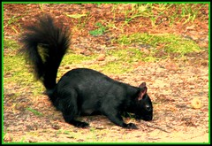 Black Squirrel (dlco4) Tags: squirrel blacksquirrel mywinners abigfave citrit goldstaraward discoveryphotos