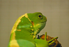 Fluro Green Lizard (itchybana) Tags: