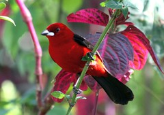 Ti-sangue (Ramphocelus bresilius) (claudio.marcio2) Tags: bird nature photo natureza pssaro inspire birdwatcher naturesfinest tisangue ramphocelusbresilius braziliantanager wonderworld agrade golddragon wingedwonders natureplus mywinners abigfave worldbest aplusphoto nationalgeographicareyougoodenough avianexcellence excellenceinavianphotography citritgroup theunforgettablepictures brilliant~eye~jewels everydayissunday theperfectphotographer astoundingimage natureislovely superamazingshotsaward goldstaraward dragongoldaward naturethroughthelens allbirdsallthetime photosofqualitytosmileabout worldnaturewildlifecloseup guiadeavesdobrasil