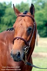 Headstudy (Elusive Elegance) Tags: horses horse bay pony american quarter ponies stallion thoroughbred appendix warmblood aws