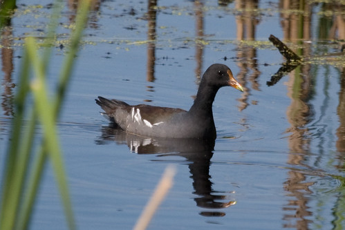 Moorhen finally