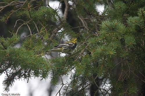 Black-throated Green Warbler (2 of 2)