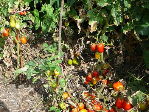 Tomaten 2008 (04)