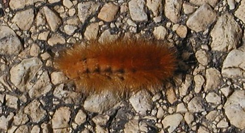 woollyworm9-9-08cropped