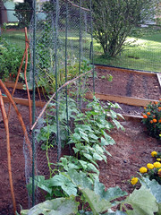 green beans on trellis