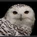 Snowy Owl by ssphillips
