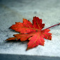 Celebrate the intangible as well as the tangible (Maureen F.) Tags: life thanksgiving autumn red color fall leaf symbol steps step mapleleaf harvestfestival mywinners emblemofcanada beautifulvividcolorsymbolicofthefallseason nationalsymbolofcanada