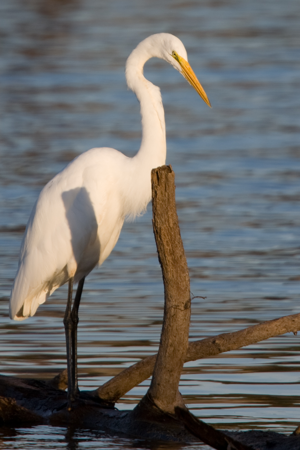 great-egret-crop