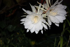 Epiphyllum, Night blooming Cereus (Flower)  (air maxx) Tags: china desktop pink wallpaper hk flower nature water grass animals japan lily farm hong kong fans
