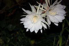 Epiphyllum, Night blooming Cereus (Flower) 曇花 (air maxx) Tags: china desktop pink wallpaper hk flower nature water grass animals japan lily farm hong kong fans