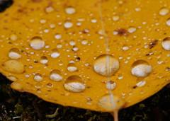 Water Drops (heska) Tags: autumn macro fall suomi finland leaf waterdrop droplet oulu syksy lehti pisara