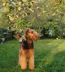 KAUSZA (AnnLoz-3) Tags: dog pet dogs terrier airedale mydog airedales airedaleterrier