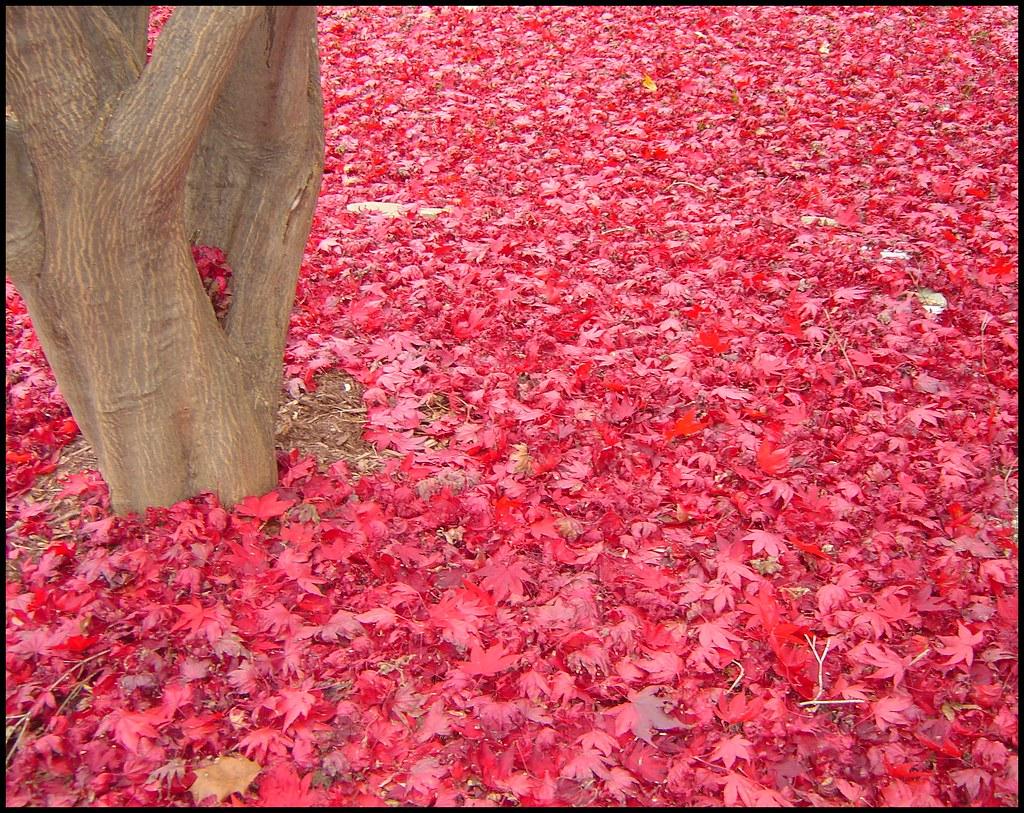 Autumn's Red Carpet
