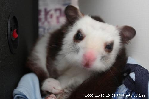 20081116超可愛小飛鼠 (1)