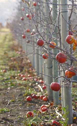 orchard-row
