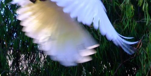 blurry cockatoo02