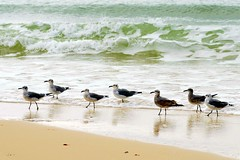 "Presenting -- ""The Magnificent Seven"" (LA Lassie) Tags: seagulls beach topv111 taggedout waves gulls alabama coastal babes seafoam latimes iloveit supershot views100 fbdg slbwading 15favs123views"