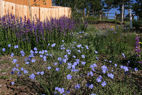 Blue Flax & Penstemones