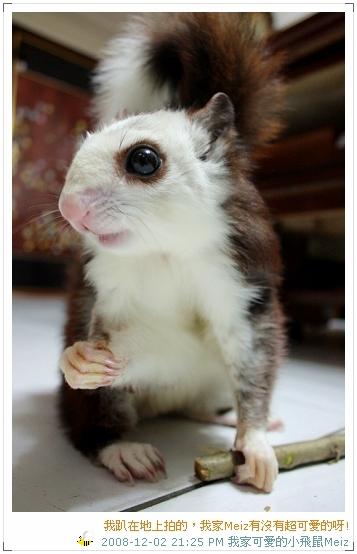 2008年11~12月份小飛鼠Meiz的生活照 (9)